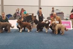 """vorgestellte Hunde des Vereins """"Spanische Wasserhunde Deutschland e.V."""""""